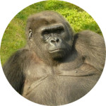 gorille_Cha